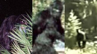 Three times Sasquatch was filmed.