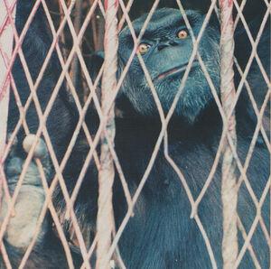 Yaounde-Zoo-Jenkins-&-Gadsby-ape-1996
