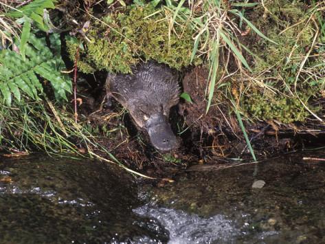 File:Platypus in its habitat.jpg
