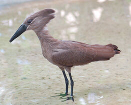 750px-Hammerkop Scopus umbretta National Aviary 2000px