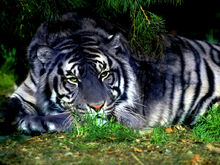 Blue tiger-0