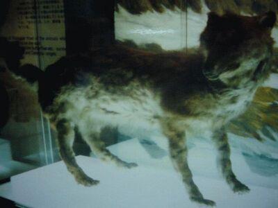 エゾオオカミ剥製・開拓記念館19840914