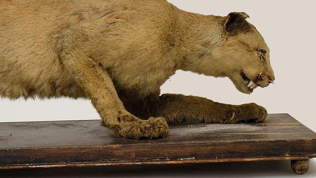 Pennsylvanian Mountain Lion Cryptid Wiki Fandom