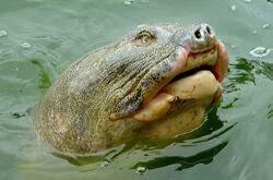 2-Hoan-Kiem-Turtle