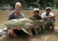 Goonch-catfish-picture