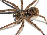 Up-island Spider