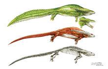 Diplocaulus Anatomy