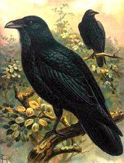 Ravens, pub dom
