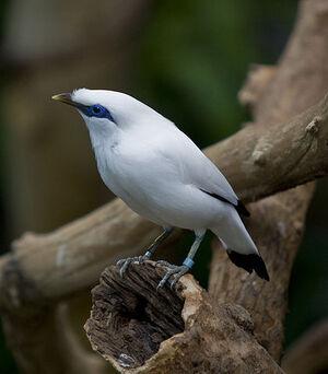 Bali starling