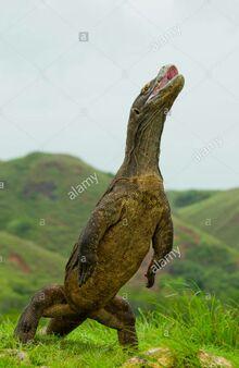 Komodo Standing