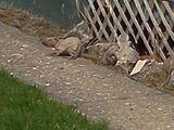 Rochester Rat-Dog