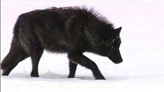 A Huge Black Dog Encounter In Eureka, California.