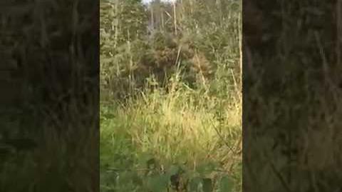 Bigfoot filmed in Ballyboley forest, Northern Ireland Cryptids NI-0