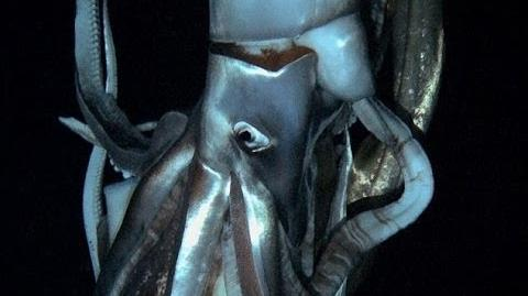 Giant Squid Footage Captured for First Time