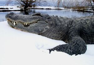 Snow gator