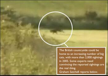 Big cat in field 470 470x330