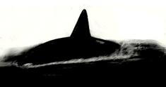 Alula Whale