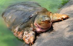 Legendary turtle sunbathes