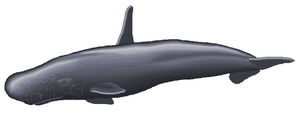 High finned sperm whale 2