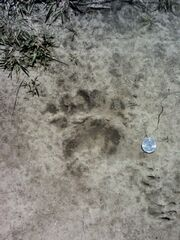 Bearfootprint