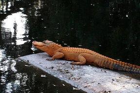 Orange-alligator1