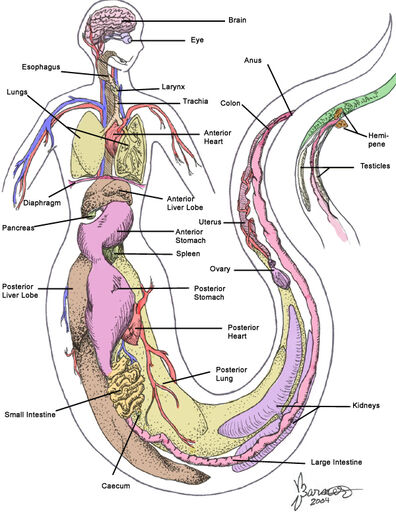 Internal Naga Anatomy by sugarpeep
