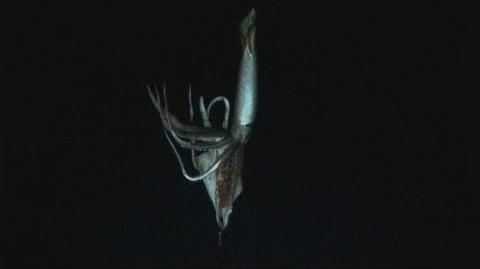 AMAZING VIDEO Giant squid filmed in deep sea habitat for the first time