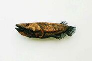 Copperfish