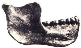 Homo gardarensis jaw