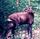Gilled Antelope