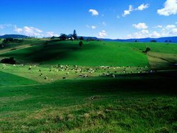 Dairy-Cattle-New-South-Wales-Australia-1
