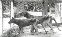 Thylacine-3