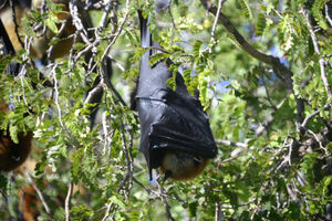 Madagascan Flying Fox Batnap