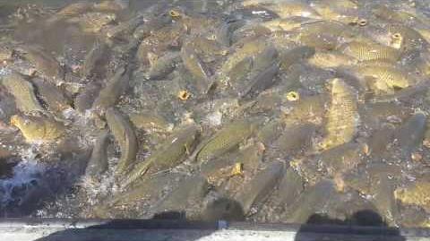 Feeding the carp at Raystown Lake, PA 2016