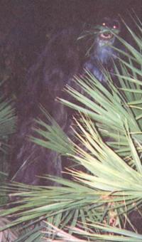 200px-Myakka skunk ape 2