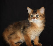 Kitten Somali