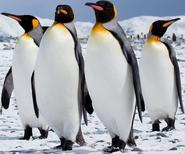 Adult King Penguins