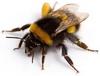 Large Garden Bumble Bee (Bombus ruderatus)