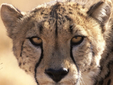 Cheetah, Jaguar, Leopard, Lion, or Tiger - Which is fastest?