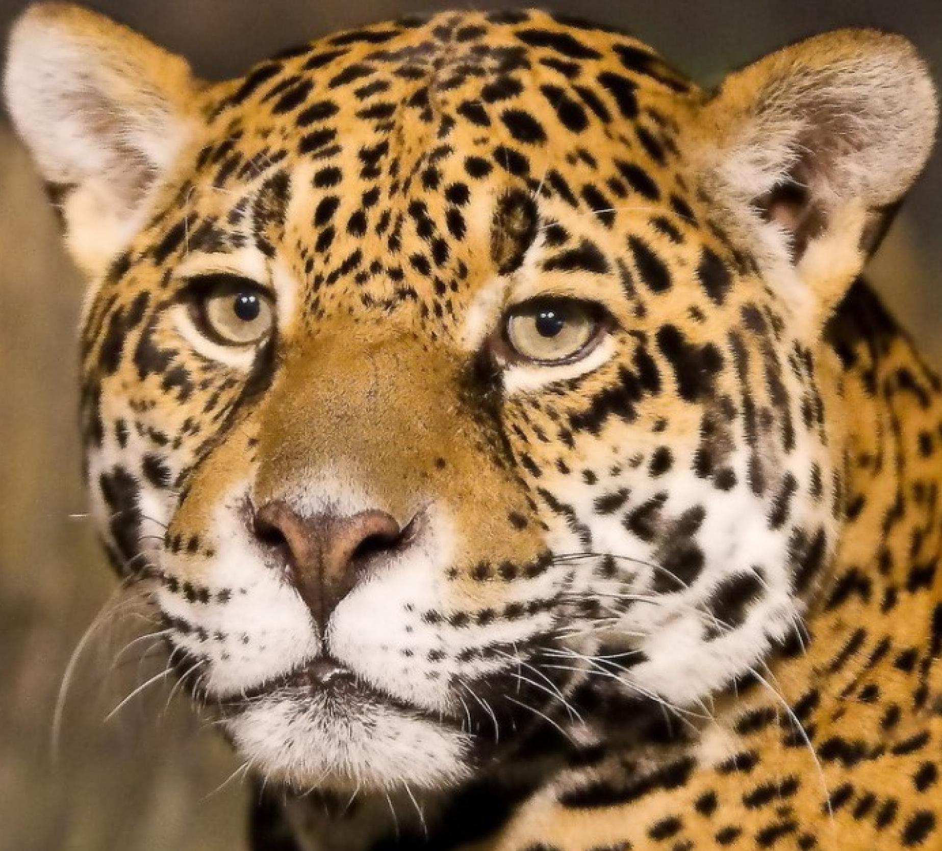 Lion Tiger Leopard Jaguar Lions Big Cats Tigers Leopards Jaguars