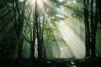 Kohongaforest