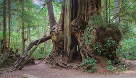 The Kalaloch Cedar