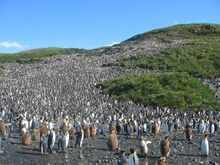 Sassain - King Penguins