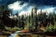 Pine-forest-wallpaper