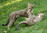 Cheetahbork