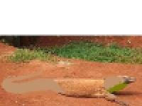 Komodo cobra