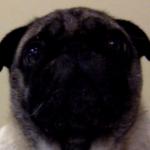 Toby The Pug's avatar