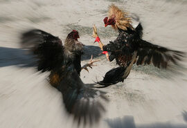 Cockfight2