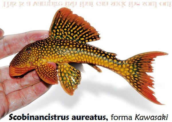 Scobinancistrusaureatus