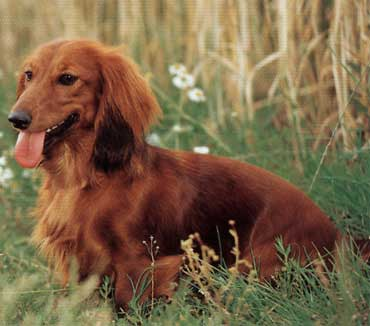 Color And Pattern Variations Dachshund Wiki Fandom Powered By Wikia